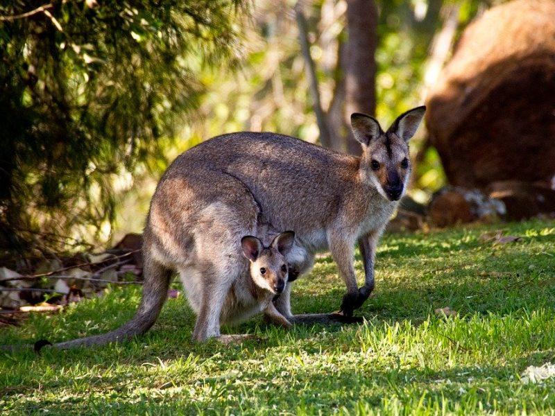 Versace arrête le cuir de kangourou