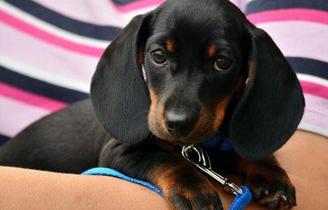 Moncler et Poldo Dog Couture lancent une collection pour chien