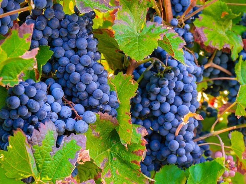 La production de vin anglais bat des records en 2018