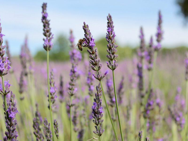 Guerlain: des «baisers» pour sauver les abeilles!